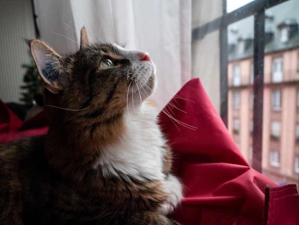 Chat regarde par la fenêtre